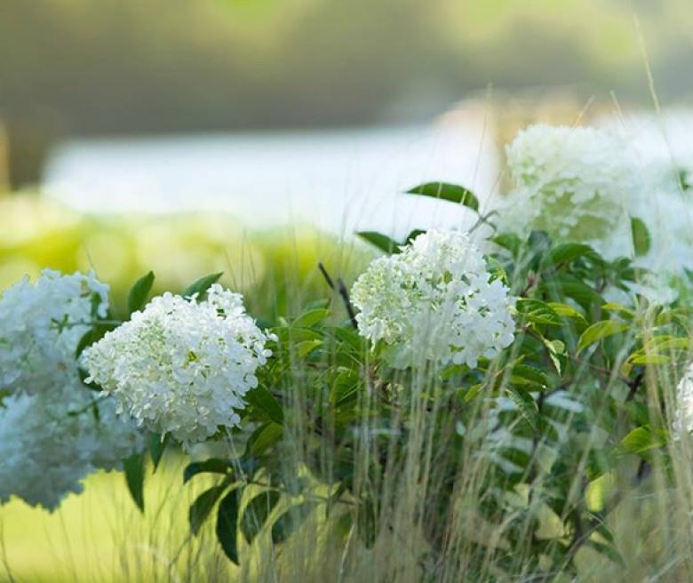 Гортензия - садовая красавица